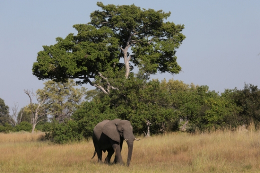 아프리카 보츠와나의 오카방고 델타 지역에서 한 어린 코끼리가 어딘가로 걸어가고 있다. /사진=로이터