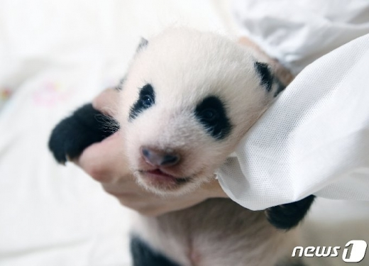 에버랜드 측은 10일 아기 판다의 사진을 공개했다. /사진=뉴스1(에버랜드 제공)
