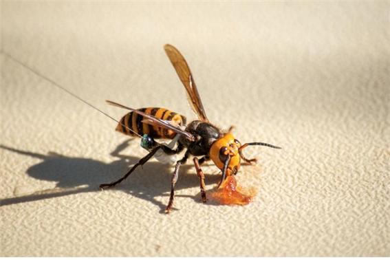 미국 워싱턴에서 살인말벌떼가 발견됐다./사진=로이터