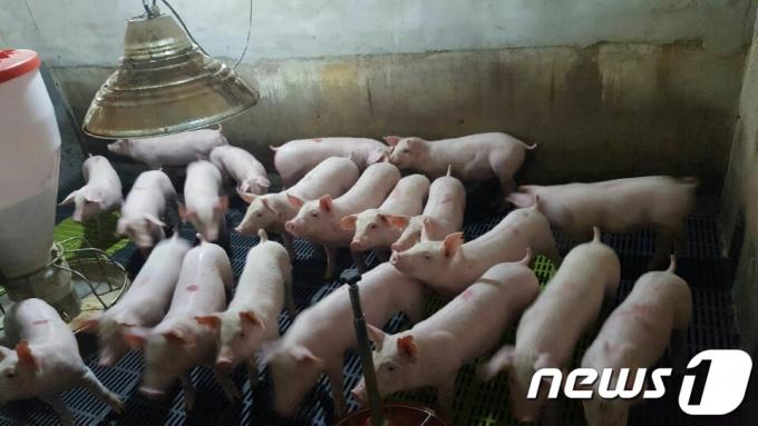 지난 5일 경기도 포천시 신북면 덕둔리에서 발견된 멧돼지 폐사체 1개체에서 아프리카돼지열병(ASF)이 확진됐다.  사진은 기사 내용과 무관. /사진=뉴스1