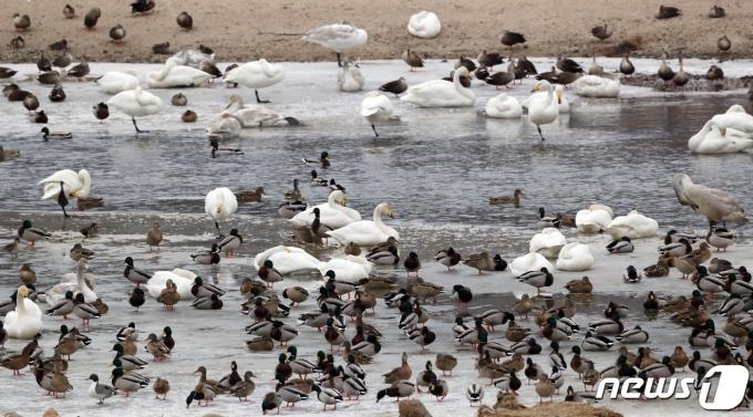 영상의 날씨를 보인 21일 강원도 철원군 한탄강에서 고니와 기러기등 철새들이 겨울을 보내고 있다. 2021.1.21/뉴스1 © News1 김명섭 기자
