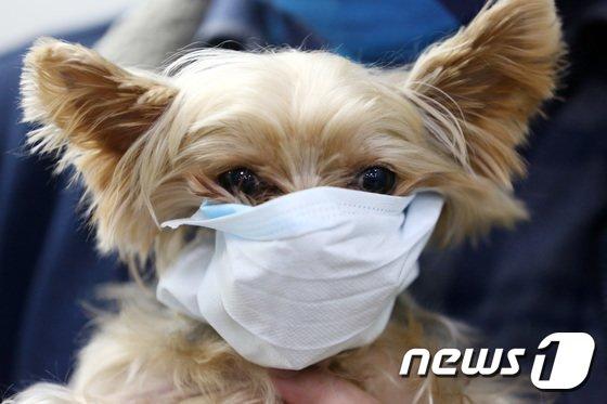 지난해 1월 28일 오전 경기도 평택항 국제여객터미널에서 한 강아지가 마스크를 쓰고 있는 모습이 포착됐다.사진은 기사내용과 무관. /사진=뉴스1
