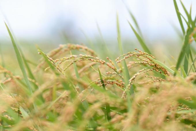 여주시(시장 이항진)는 여주 명품쌀 '진상' 불법 재배·유통·판매·채종 단속을 실시한다고 29일 밝혔다. / 사진제공=여주시