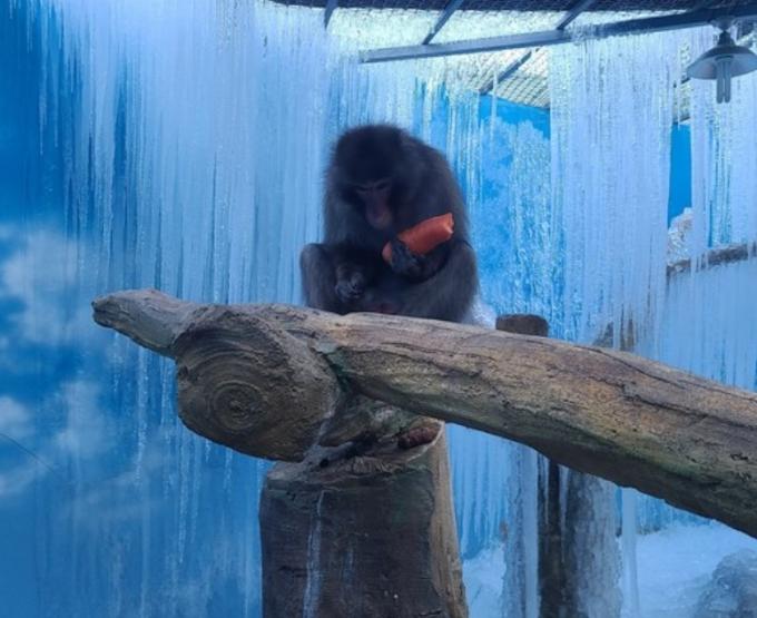휴장 중인 대구의 한 동물원에서 동물들을 방치한 정황이 드러났다. 사진은 고드름이 언 우리에 방치된채 당근을 먹고 있는 원숭이의 모습. /사진=제보자 SNS 캡처
