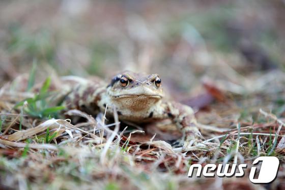 이번주 내내 계속된 강추위가 금요일인 19일 낮부터는 잦아들 전망이다. 사진은 지난 15일 오전 대구 수성구 욱수골에 나타난 겨울잠에서 깬 두꺼비. /사진=뉴스1