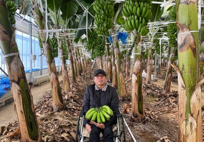 전남에서 재배되는 오매향 바나나가 2월부터 경기도지역 군 장병들 식탁에 오른다/사진=농협전남지역본부 제공.