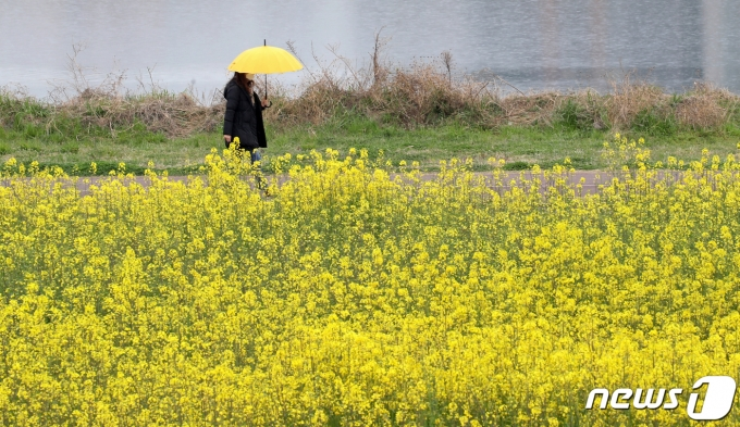 봄비가 내리고 있는 26일 오전 울산 남구 태화강변에서 우산을 쓴 한 시민이 활작 핀 유채꽃밭을 거닐고 있다. 2020.3.26/뉴스1 © News1 윤일지 기자