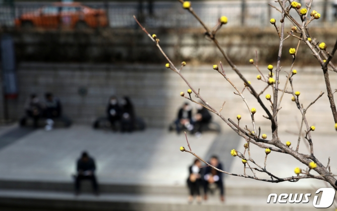 낮 들어 추위가 누그러진 3일 오후 서울 청계천 일대에 산수유가 꽃 피울 준비를 하고 있다.  2021.3.3/뉴스1 © News1 이승배 기자