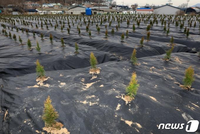 LH직원들이 사들인 뒤 묘목을 심어 놓은 경기도 시흥시 과림동 소재 농지의 모습. 2021.3.4/뉴스1 © News1 구윤성 기자