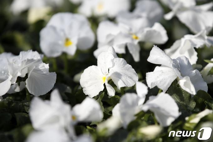 주말인 6·7일에는 큰 추위 없이 포근한 날씨가 이어질 것으로 보인다. 사진은 경기 과천시의 한 화훼 농가에 봄꽃들이 출하를 기다리는 모습. /사진=뉴스1