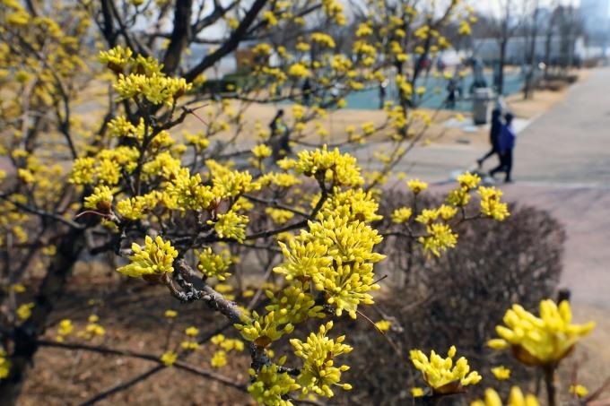 화요일인 9일은 전국 대부분의 지역에서 낮 기온이 10도 이상으로 올라 포근할 것으로 예측된다. 사진은 서울 한강뚝섬공원에 산수유가 핀 모습. /사진=뉴스1