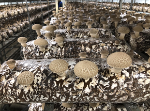 경기도농업기술원 버섯연구소가 버섯 발생이 안정적이면서 솎기 작업이 쉬워 노동력 절감이 가능한 표고 신품종 '다담'을 육성해 국립산림품종관리센터에 품종보호를 출원했다고 10일 밝혔다. / 사진제공=경기도농업기술원