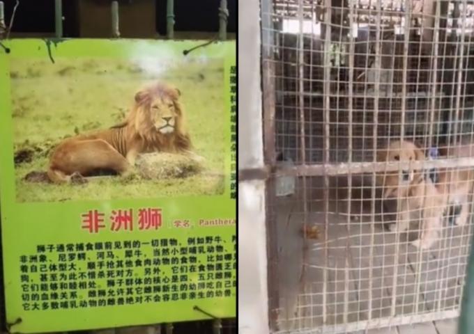 중국 쓰촨성 시장에 위치한 한 동물원 사자 우리에 골든 레트리버가 들어가 있어 논란이 일었다. /사진=웨이보 캡처