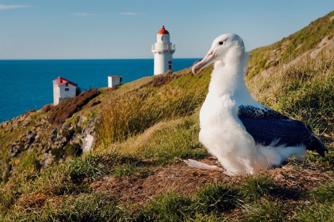 더니든 해안가에서 관찰할 수 있는 로열 앨버트로스. 뉴질랜드관광청 제공