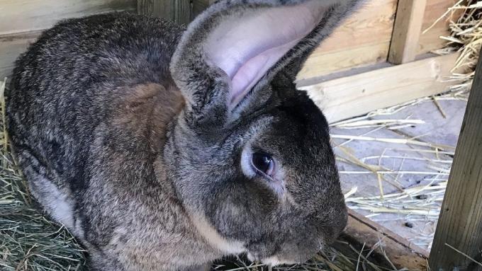 세계에서 가장 큰 토끼 다리우스 © West Mercia Police