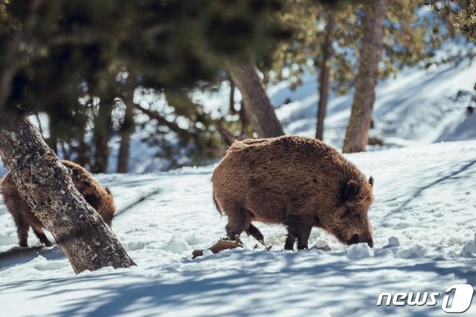 야생 멧돼지. 사진 이미지투데이 © 뉴스1