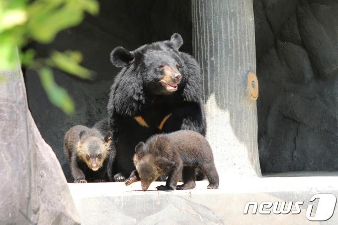 미국 콜로라도주에서 여성 1명을 공격해 숨지게 한 것으로 의심돼 안락사당한 흑곰 3마리 가운데 2마리에게서 숨진 여성의 시신 일부가 발견됐다고 주 야생동물 관계자가 3일(현지시각) 밝혔다. 사진은 기사와 무관함. /사진=뉴스1
