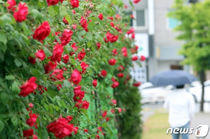 전국 곳곳에 비가 내린 10일 대전 중구 도로변에 핀 장미 옆으로 우산 쓴 시민이 걸어가고 있다. 2021.5.10/뉴스1 © News1 김기태 기자