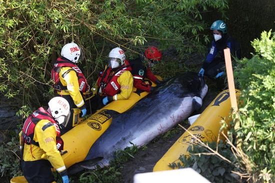 영국 템스강에서 새끼밍크 고래가 구조됐지만 건강 상태가 좋지 않아 안락사하기로 결정됐다. /사진=로이터