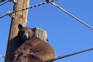 전봇대에 다소곳하게 앉아 사람 구경하는 야생곰 화제