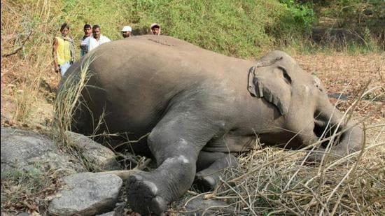 13일(현지시각) 인도 북동부에서 벼락에 맞은 것으로 추정되는 코끼리 18마리가 발견됐다. /사진=힌두타임스