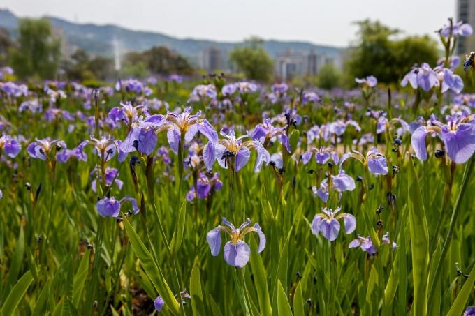 5월 중순 창포원의 붓꽃원에 보랏빛 붓꽃이 만발했다.