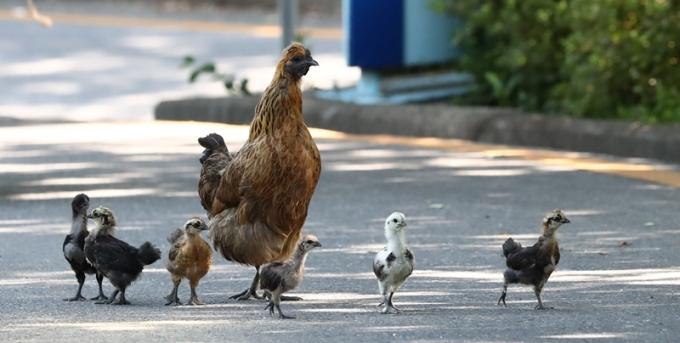 17일(한국시각) ABC 방송에 따르면 이날 호주 퀸즐랜드에 거주하는 덱스터 크루거(111)가 호주 최고령 남성에 등극했다. 크루거는 자신의 장수비결로 닭의 뇌를 꼽았다. 사진은 기사와 무관함. /사진=뉴스1