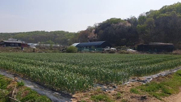 파주시는 국민양념채소인 마늘을 소득화하기 위해 홍산마늘을 3년간 시험재배하고 있다고 25일 밝혔다. / 사진제공=파주시
