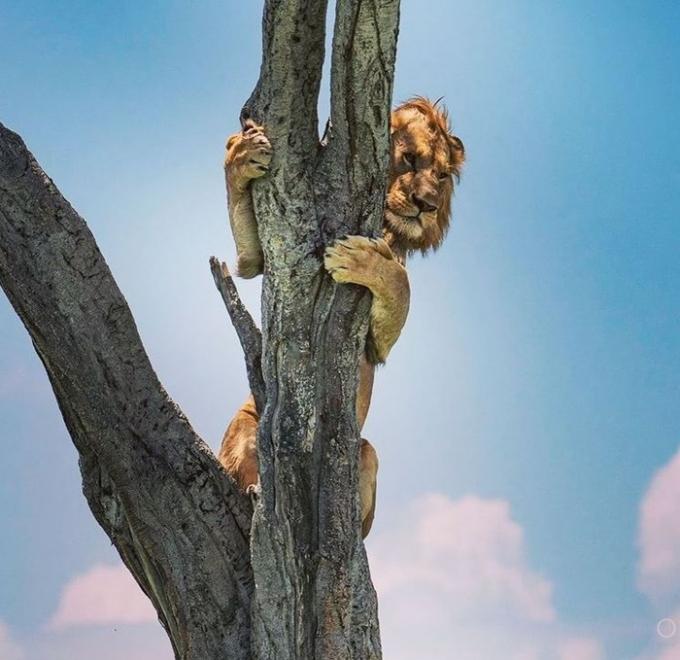 사자 한 마리가 버팔로를 사냥하다가 겁을 먹고 나무로 도망친 사연이 외신에 보도돼 화제다. 사진은 버팔로에게 겁을 먹고 나무로 피신한 사자의 모습. /사진= 올라브 토클 인스타그램