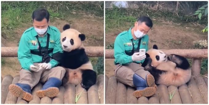 에버랜드 사육사와 아기 판다의 애정행각이 사람들에게 웃음을 안겼다. /사진=에버랜드 유튜브 캡처