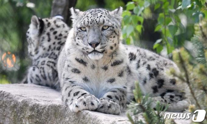 독일 동물원의 눈표범(자료사진) © AFP=뉴스1