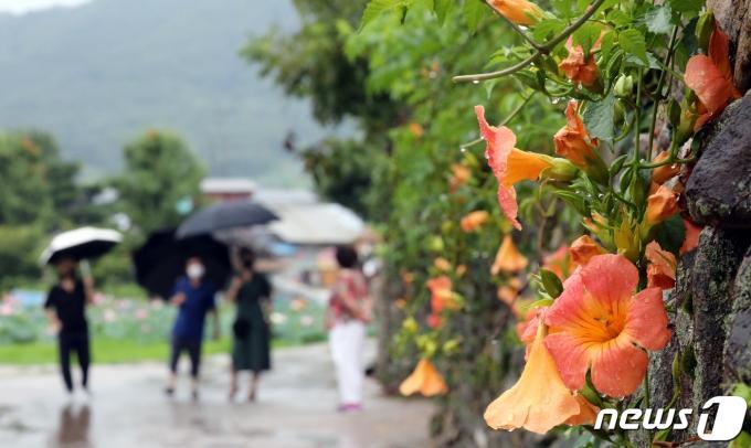 무더위를 식혀주는 비가 내린 2일 충남 아산시 외암민속마을을 찾은 관람객들이 능소화가 활짝 핀 돌담길을 걷고 있다. 2021.8.2/뉴스1 © News1 장수영 기자