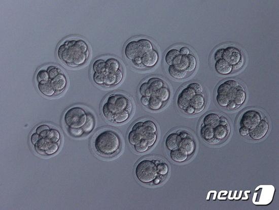 야마나시 대학팀이 냉동시켜 건조한 쥐의 정자 세포. © 로이터=뉴스1