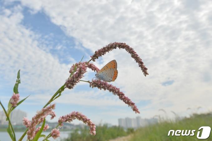 9일 경북 포항시 남구 연일읍 형산강 위로 펼쳐진 양떼 구름 아래에서 나비 한마리가 꽃에 앉아 쉬고 있다. 2021.9.9/뉴스1 © News1 최창호 기자