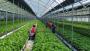 부산시농업기술센터, 들깻잎 수경재배 기술보급… 고품질생산·수출활성화 기대